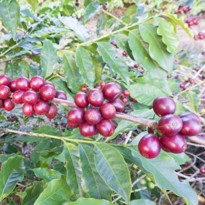 Green Coffee From Brazil Fair Trade High Elevation Sundried Natural Catucai Yellow 2Lb